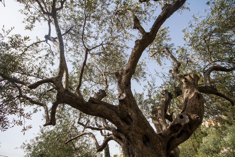 Olive Tree against sky Garden of Gethsemane